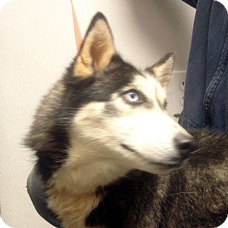 Husky Dog for adoption in baltimore, Maryland - Madonna