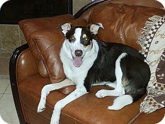 Australian Shepherd/Border Collie Mix Dog for adoption in Baytown, Texas - Rosie