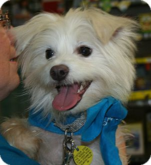 Terrier (Unknown Type, Small)/Maltese Mix Dog for adoption in North Olmsted, Ohio - Mickey