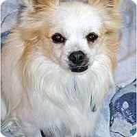 Adopt A Pet :: KIT KAT - AUSTIN, TX