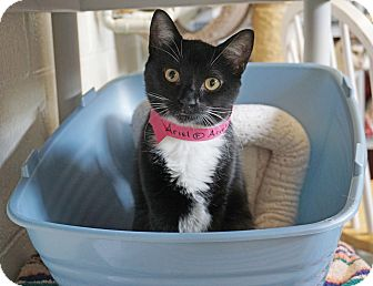 Domestic Shorthair Cat for adoption in Mt Vernon, New York - Aerial Polydactyl