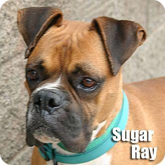 Boxer Dog for adoption in Encino, California - Sugar Ray
