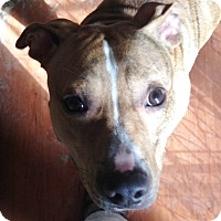 Mountain Cur Dog for adoption in Poland, Indiana - Luke
