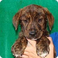 Adopt A Pet :: Tazz - Oviedo, FL