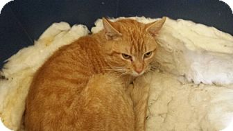 Domestic Shorthair Cat for adoption in Somerset, Kentucky - Friendly