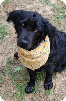 Jake   Adopted Dog   Bedford Hills, NY   Spaniel (Unknown ...  Jake   Adopted ...