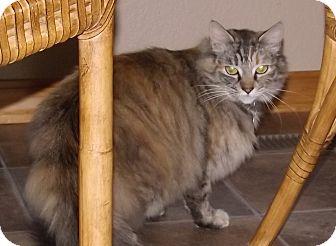Maine Coon Cat for adoption in Salem, Oregon - Sasha