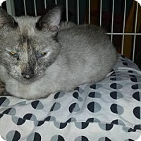 Siamese Cat for adoption in Iroquois, Illinois - Symphony