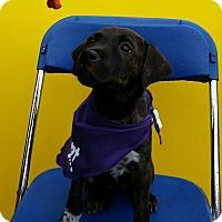 Adopt A Pet :: Saffron - Detroit, MI