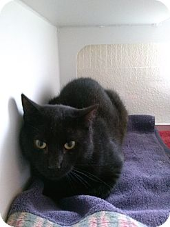 Domestic Shorthair Cat for adoption in Divide, Colorado - Dark