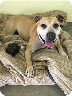 Pit Bull Terrier Mix Dog for adoption in Manchester, New Hampshire - Amelia