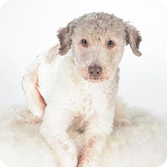 Poodle (Miniature)/Terrier (Unknown Type, Medium) Mix Dog for adoption in St. Louis Park, Minnesota - Grayson- Pending Adoption
