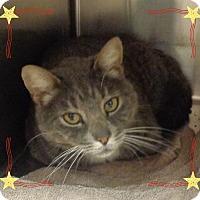 Domestic Mediumhair Cat for adoption in Marietta, Georgia - STEVE