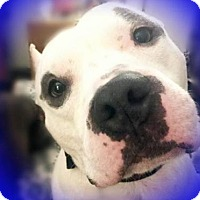 Adopt A Pet :: Brutus (white/gray) - Whitestone, NY
