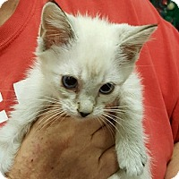Siamese Kitten for adoption in Alhambra, California - Ellen