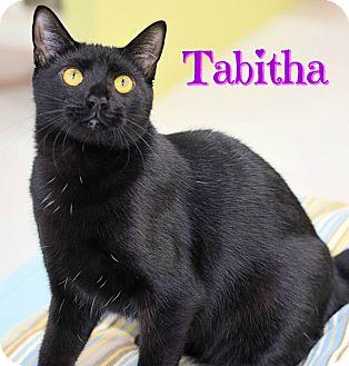 Domestic Shorthair Kitten for adoption in Sarasota, Florida - Tabitha