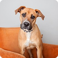 Rhodesian Ridgeback/Boxer Mix Dog for adoption in Mission Hills, California - Sophia