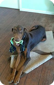 Doberman Pinscher Dog for adoption in Houston, Texas - Rusty