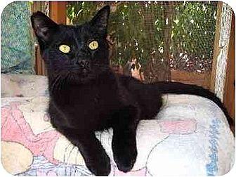 Domestic Shorthair Cat for adoption in Toluca Lake, California - Niall