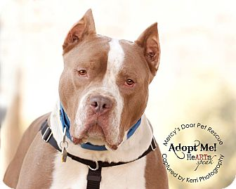 American Pit Bull Terrier/American Staffordshire Terrier Mix Dog for adoption in Medina, Ohio - Hank