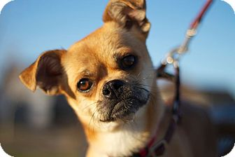 Pug/Chihuahua Mix Dog for adoption in Sacramento, California - Carmela