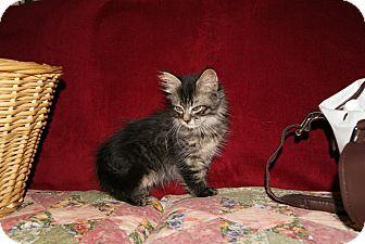 Domestic Longhair Kitten for adoption in Bensalem, Pennsylvania - Bazinga