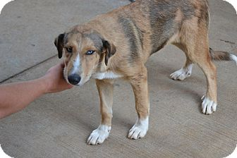 Catahoula Leopard Dog/Australian Shepherd Mix Dog for adoption in Dumfries, Virginia - Farrah
