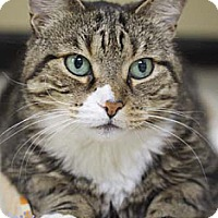 Domestic Shorthair Cat for adoption in Merrifield, Virginia - Olivia