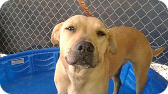 Labrador Retriever/Pit Bull Terrier Mix Dog for adoption in Littlerock, California - Sadie