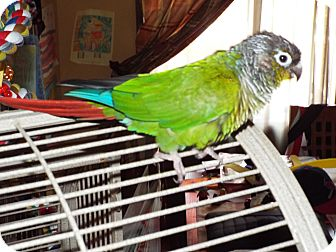 Conure for adoption in Hightstown, New Jersey - Bailey