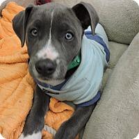 Adopt A Pet :: Presley - San Diego, CA
