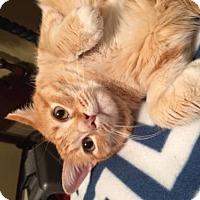 Adopt A Pet :: Cheeto - San Antonio, TX