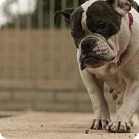 Adopt A Pet :: Piper - Tempe, AZ