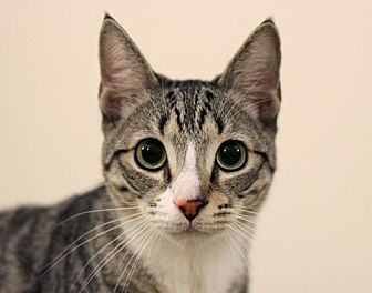 Domestic Shorthair Cat for adoption in Los Angeles, California - Shakespeare