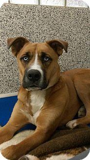 Akita/Boxer Mix Dog for adoption in Middletown, Ohio - Merlin