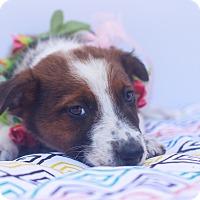 Adopt A Pet :: Daisy Mae - Loomis, CA
