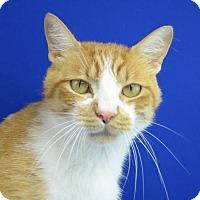 Adopt A Pet :: CHEDDAR - LAFAYETTE, LA