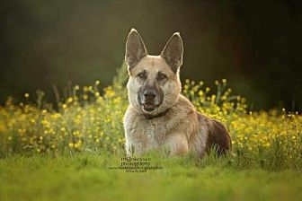 German Shepherd Dog Dog for adoption in Morrisville, North Carolina - Dixie