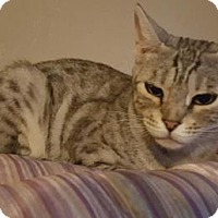 Egyptian Mau Cat for adoption in Tucson, Arizona - Jazzy
