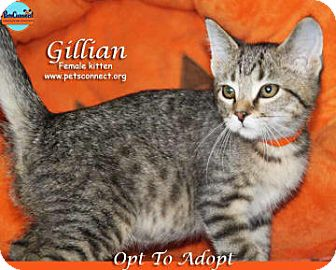Domestic Shorthair Kitten for adoption in South Bend, Indiana - Gillian