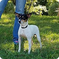Rat Terrier Dog for adoption in Atchison, Kansas - Poppy