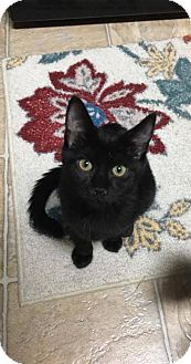 Domestic Shorthair Kitten for adoption in Denver, Colorado - Snorlax