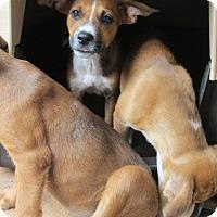 Adopt A Pet :: MERCEDES - Williston Park, NY