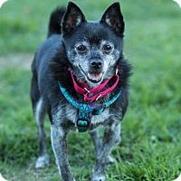 Adopt A Pet :: SHADOW - Methuen, MA