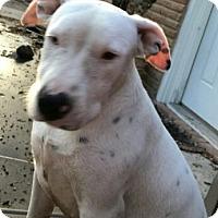 Adopt A Pet :: Cagni - Houston, TX
