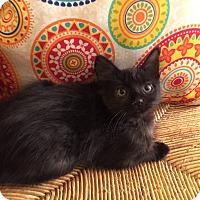 Adopt A Pet :: Stone - Addison, IL