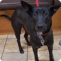 Adopt A Pet :: Dixie - Las Vegas, NV