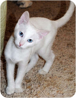 Turkish Van Cat for adoption in Palmdale, California - Frankie