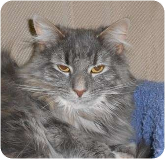 Domestic Mediumhair Cat for adoption in Chesapeake, Virginia - Alta