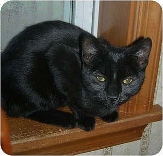 Domestic Shorthair Cat for adoption in Carlisle, Pennsylvania - Midnight